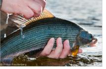 Aesche, Äsche, Laichtiere, Grosse Fische, C&R, Catch & Release