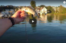 Egli, Barsche, Buldomontage, Egkifänge Zürichsee, Fischer, Angler, fischen, angeln, Alpenfischer