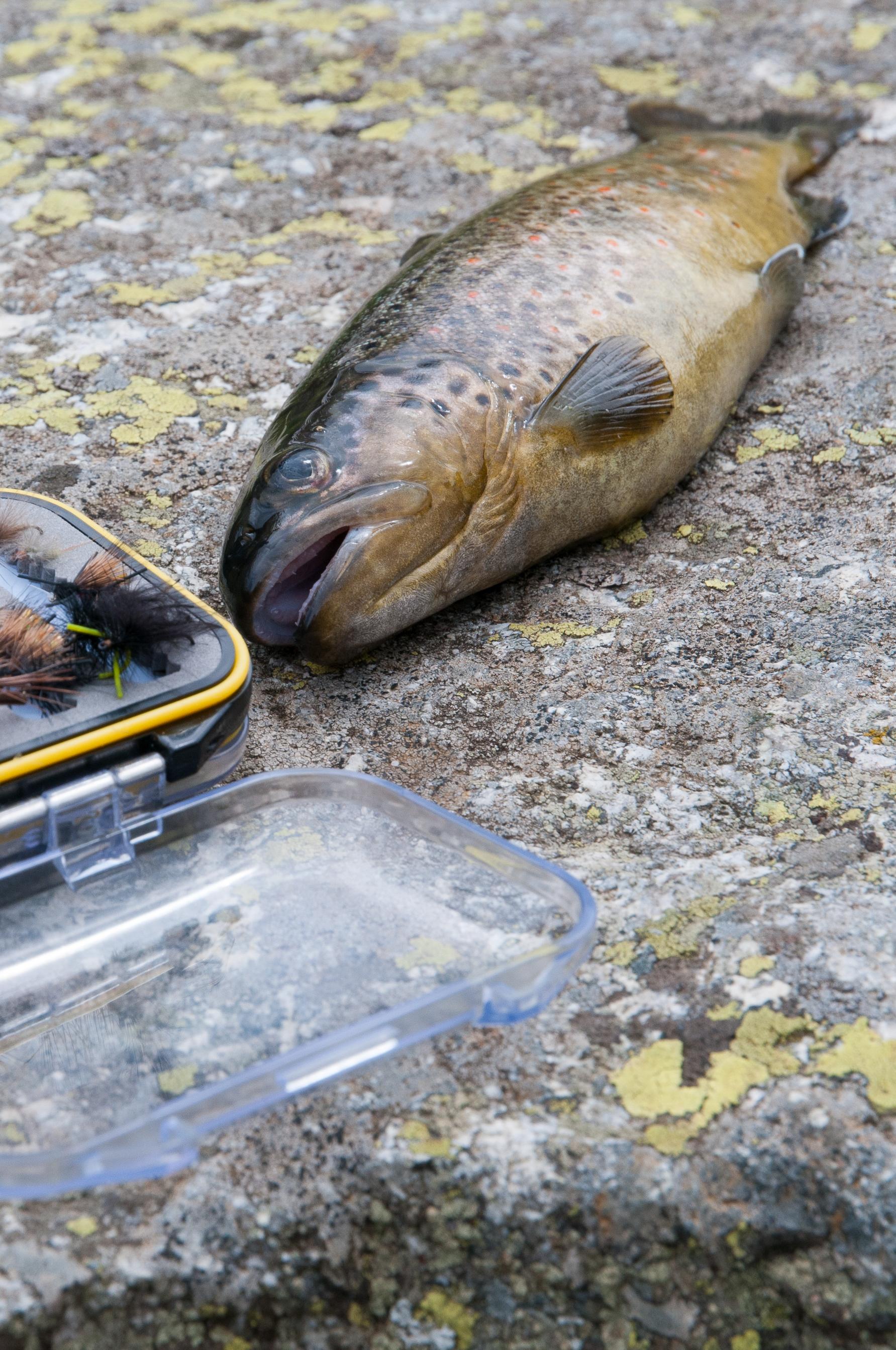 Fliegenfischen, Spinnfischen, Salmoniden, Forelle, Namaycush, Saibling, Alpenfischer, Alpen angeln, Petri-Heil, Petri Heil