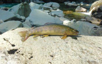Forelle, Fliegenfischen, Bachforelle, Alpenfischer, Alpen fischen, Fliegenfischen, Fischen, Anglen, Fischer, Angler