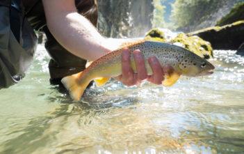 Fliegenfischen, Bachforelle, Forelle, Fischer, angler, fischen, angeln, Alpenfischer, Alpen fischen, Petri Heil