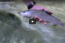 Forelle auf Nymphe, Bergbach, Alpenfischer, Alpen fischen, fischen, angeln, Fischer, Angler, Petri-Heil, Petri Heil