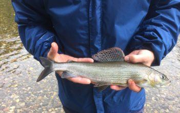 Aare Äsche auf Trockenfliege, Aeschenfischen, FLiegenfischen, Fischer, Angler, Alpenfischer, Petri Heil, Trockenfliege-Aesche