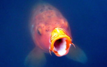 Fischrückgang, Alpenfischer, WWF Living Planet Report, fischen, angeln