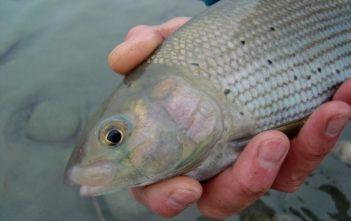 Naturköder auf Aeschen fischen, Alpenfischer, fischen, angeln, Flussfischen auf Äschen, Fang einer Äsche