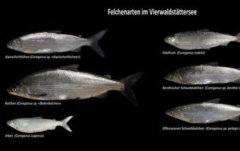Balchen, Felchen, Albeli, Wissenschaft, Felchen Studie, Apenfischer, angeln, fischen, Ökosystem