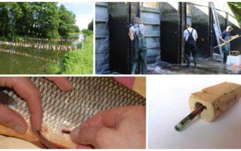 Markierte Fische im Rhein, PIT-Tags, Trsnsponder, Alpenfischer, Wissenschaft, BAFU