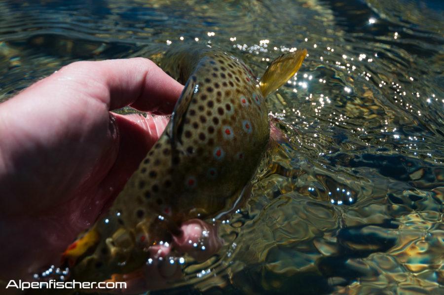 C&R, Release Fang, Fangfenster, Alpenfischer, angeln, fischen, Petri Heil