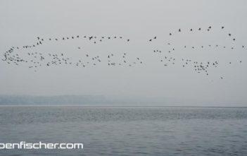 Kormoran, Kormoranschwarm, Fischereiverbot
