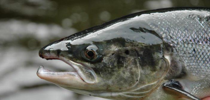 Atlantiklachs, Lachsfischen Irland, River Moy, Irland Westen, Lachsangeln, ALpenfischer, Lachsfischen, Lachsangeln, Corrib