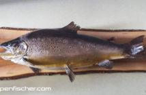 Forelle, Trout, Möll, Alpenfischer, Angeln, Fischen
