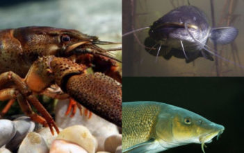 Fisch des Jahres 2018, Fisch des Jahres Österreich, Wels, Waller, Alpenfischer, fischen, angeln