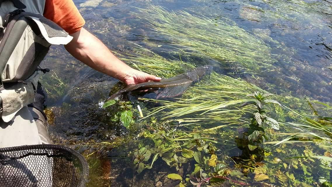 Äsche, Release, Alpenfischer