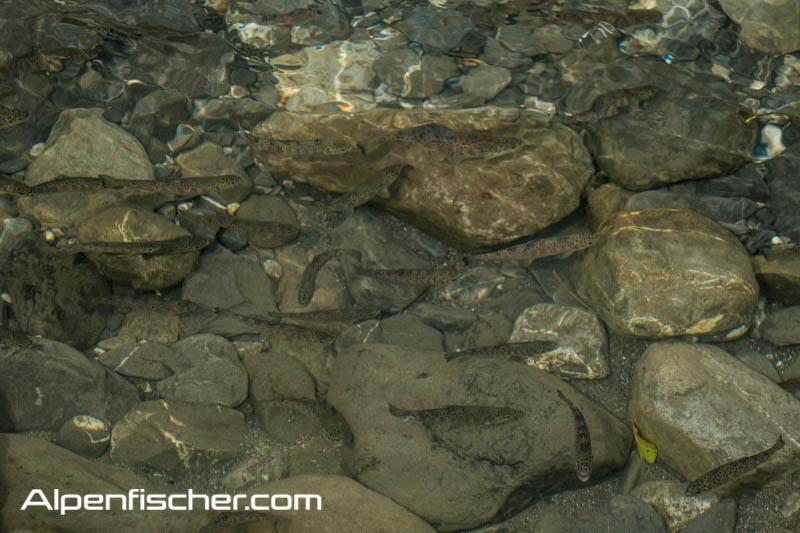 Forellenbesatz, Jungfische, Fischbrut, Sämmerlinge, Jährlinge, kein Fischbesatz, Alpenfischer