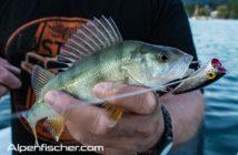 Egli, Alpenfischer, Fischen, Popper