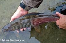 Äschen Moratorium, Aeschen Fangverbot, Hitzesommer, Fischsterben Äschen, Alpenfischer