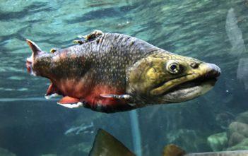 Aquantis, Süsswasserfische, Alpenfischer.com, Auantis Lausanne