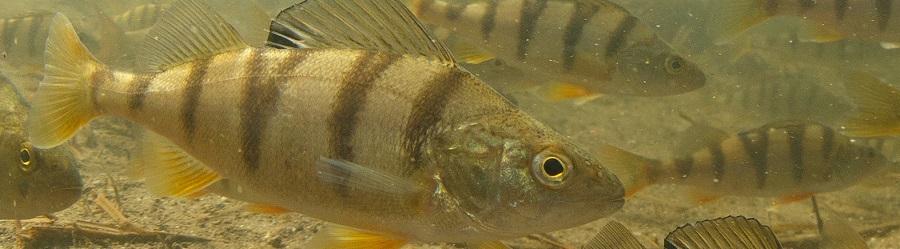 SFV Fisch des Jahres 2019, Egli Fisch 2019, Barsch der Fisch 2019 CH, alpenfischer.com