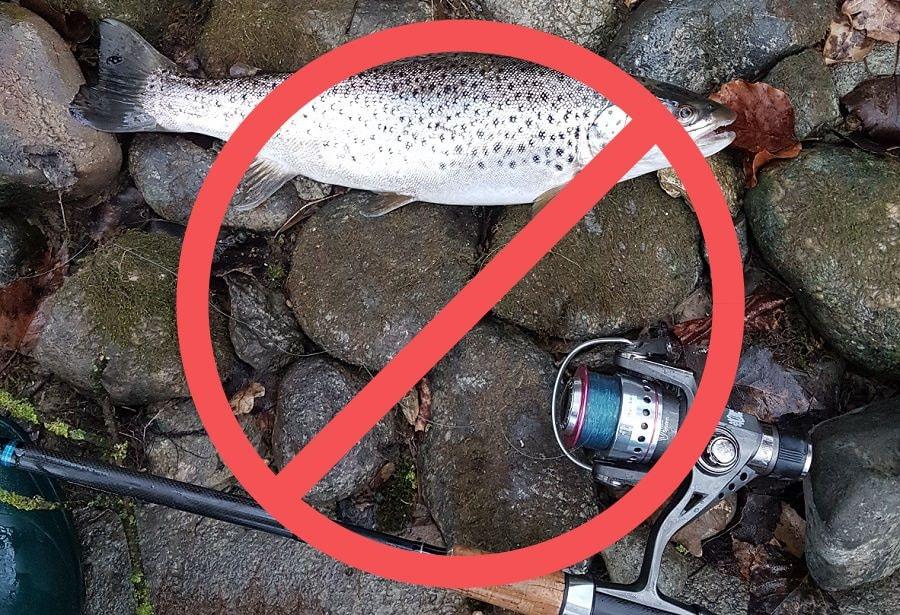 Forellen und Aeschen verschwinden, Forellenverbot, Forellenfischen verboten, Limmat ohne Forellen, alpenfischer.com