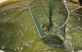 Malachitgrün, Forellenzucht, Isar-Forellen, alpenfischer.com