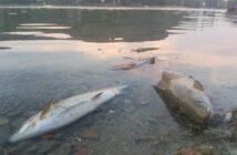 Fischsterben, Pestizide, alpenfischer.com
