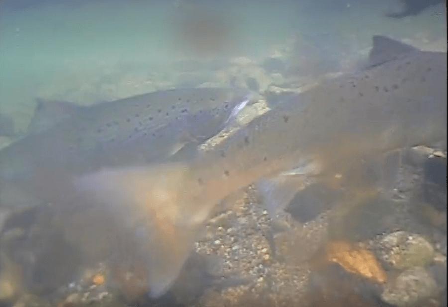 alpenfischer.com, Atlantik-Lachs, Lachsangeln, Lachsfischen